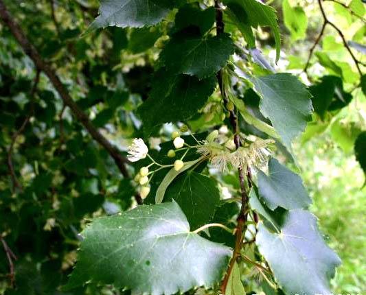 Linden Tree Tilia Cordata