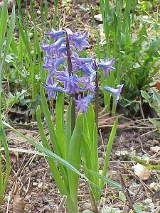 kategoria_edukimi_kuzhina_bimwt-helmuese_hyacinthus_orientalis.jpg