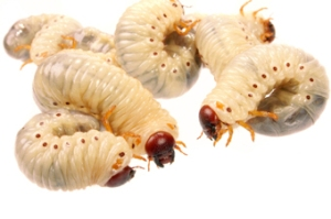 larvat e mizave